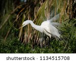 great egret in breeding plumage  | Shutterstock . vector #1134515708