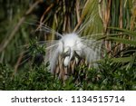 great egret in breeding plumage  | Shutterstock . vector #1134515714