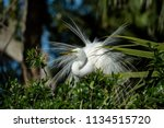 great egret in breeding plumage  | Shutterstock . vector #1134515720