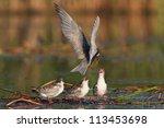 Common Tern  Sterna Hirundo...