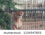 A Sad Lioness In The Cage Of...