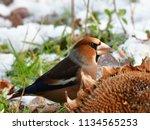 winter beginn hawfinch in... | Shutterstock . vector #1134565253