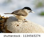 marsh tit  poecile palustris...   Shutterstock . vector #1134565274