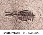 Petrified Fossil Trilobite In...