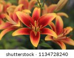 Beautiful Flowers Of Lilies Of...