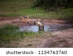 cute and curious jackal... | Shutterstock . vector #1134763760