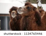 portrait of two bactrian camels ... | Shutterstock . vector #1134765446