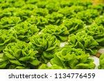 fresh lettuce leaves  close up. ... | Shutterstock . vector #1134776459