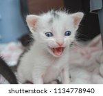 White 3 Week Old Kitten Meowing