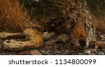 a dead and decayed coyote  ... | Shutterstock . vector #1134800099