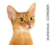 purebred abyssinian young  cat... | Shutterstock . vector #113482804