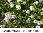 phyla nodiflora or cape weed ... | Shutterstock . vector #1134844580