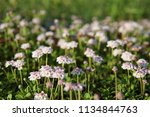 phyla nodiflora or cape weed ... | Shutterstock . vector #1134844763