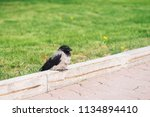 black crow relax on border near ... | Shutterstock . vector #1134894410