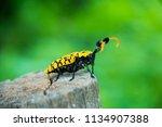 common tuft bearing longhorn... | Shutterstock . vector #1134907388