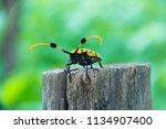common tuft bearing longhorn... | Shutterstock . vector #1134907400
