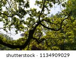 old trees  lisse  netherlands  | Shutterstock . vector #1134909029