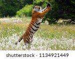 the siberian tiger  panthera... | Shutterstock . vector #1134921449