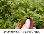 ripe bilberry and leaves.... | Shutterstock . vector #1134927803