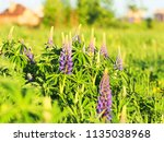 lupinus perennis in sunset... | Shutterstock . vector #1135038968