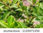 Small photo of Green berries on the branches of a garden plant of Panamanian origin.