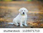 Stock photo lonely golden retriever puppy sitting on a path in the forest and waiting for the owner 1135071713