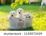 Stock photo fluffy puppies sitting in a basket in the shade of a peach tree 1135072439