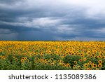 sunflower field against a... | Shutterstock . vector #1135089386