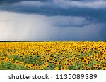 sunflower field against a... | Shutterstock . vector #1135089389