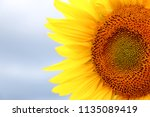 sunflower in sunlight against... | Shutterstock . vector #1135089419
