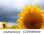 sunflower in sunlight against... | Shutterstock . vector #1135089440
