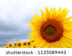 sunflower in sunlight against... | Shutterstock . vector #1135089443