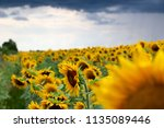 sunflower field against a... | Shutterstock . vector #1135089446