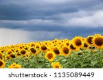 sunflower field against a... | Shutterstock . vector #1135089449
