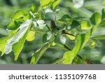 sparrow on tree at park | Shutterstock . vector #1135109768