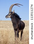 Sable Antelope Standing In...