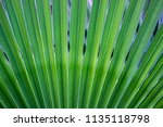 green tropical leaves texture... | Shutterstock . vector #1135118798