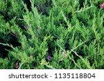 fresh green cypress tree... | Shutterstock . vector #1135118804