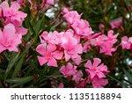 oleander or nerium oleander... | Shutterstock . vector #1135118894