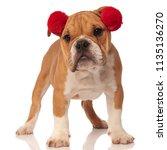 Cute English Bulldog With Red...
