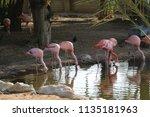 caribbean pink flamingo... | Shutterstock . vector #1135181963