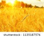 wheat field on sun. harvest and ... | Shutterstock . vector #1135187576