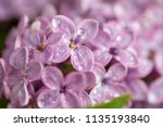 dew drops on the flowers of... | Shutterstock . vector #1135193840