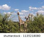 herd of south african giraffe... | Shutterstock . vector #1135218080