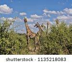 herd of south african giraffe... | Shutterstock . vector #1135218083