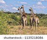 herd of south african giraffe... | Shutterstock . vector #1135218086