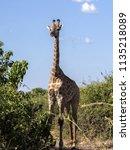 south african giraffe giraffa... | Shutterstock . vector #1135218089