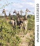 herd of south african giraffe... | Shutterstock . vector #1135218110