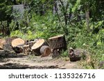 stumps from felled trees.... | Shutterstock . vector #1135326716