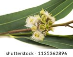eucalyptus branch with flowers  ... | Shutterstock . vector #1135362896